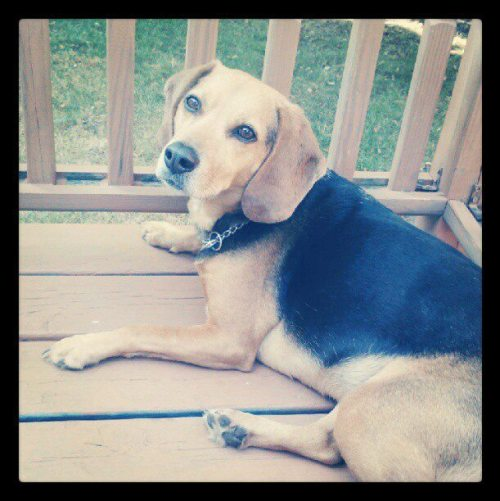 Submitted by reevesjr. Beagle mix.