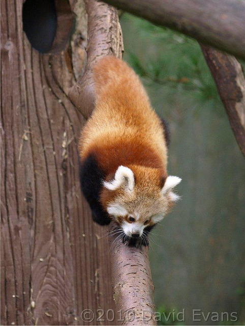 Red Panda Cub - Chester Zoo 02/10/10 by Romeoliverpool on Flickr.