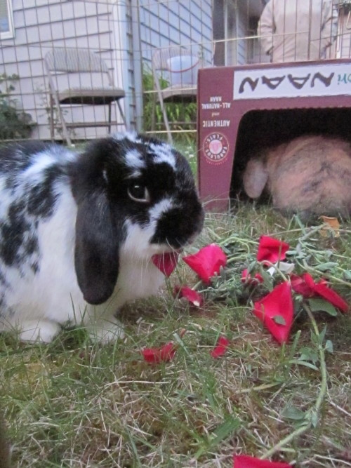 queerabbit: My bunnies playing outside. Om nom nom rose petals.