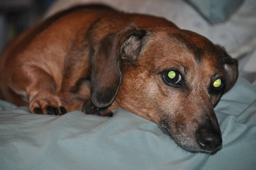 Taken by myself (veggieedge13) of my now 13 year old short haired mini dachshund Brownie. I couldn't ask for a better friend.