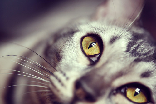 photogenicfelines:  (via 500px / Mariya Shiryaeva)