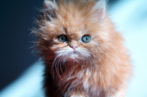 "photogenicfelines:  (via 500px / Photo ""Am I Cute?"" by Burak Arik)"