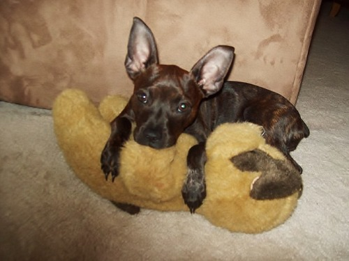 Picture of my Boston Terrier- Miniature Pinscher mix nursing on her bear that she has had since we got her :)Picture taken by Jessica N. Clayton