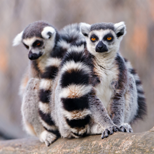 Lemurs together (by Tambako the Jaguar)