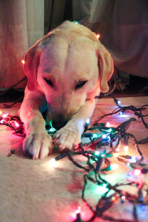 handsomedogs:  Prettiest christmas labrador, Maggie ♥