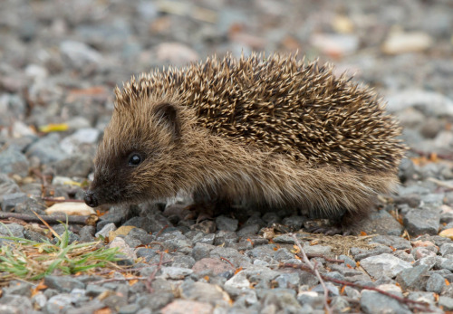 llbwwb:  Little Hedgehog  (by Gary Faulkner's wildlife)