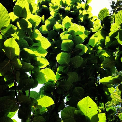 Birch tree in my #garden. #photoadayjuly  (Taken with Instagram)