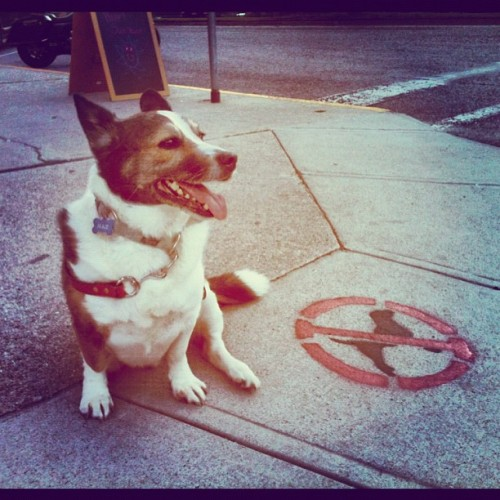 "thefluffingtonpost:  Corgi Takes a Stand Against 'No Dogs' Policy A corgi named Max has lodged a protest against the city of Nelson, British Columbia for its flagrant discrimination against dogs. ""These street markings are unacceptable,"" says Ted Farro, a spokesperson for the disgruntled pup, referring to the 'No Dogs' signs painted on city sidewalks. ""It's a public street, and dogs have the same right as anyone to be there. You don't see any 'No Cats' signs around here, do you?"" Max has organized a sit-in to protest the city policy. Police are holding off for now in the hope he will give up his cause. That's unlikely, according to people who know Max. ""He's very determined,"" says friend Jerri Boso. ""He's been known to sit for hours — days, if need be."" Via Amber L.  Fight the power."