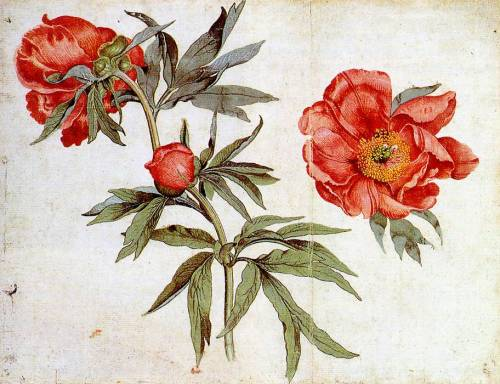 Study of Peonies by Martin Schongauer (circa 1472). Watercolour and body colour. Source - Wikimedia