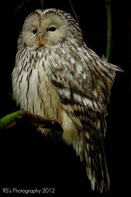 fat-birds:  Ural Owl by RS's Photography on Flickr.