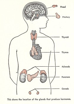 "Heart #334 Image Source: ""All About the Human Body"" Illustrated by Felix Traugott"