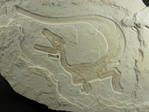 A150 million year old fossil of Sciurumimus albersdoerferi, recently discovered in a Bavarian limestone quarry.