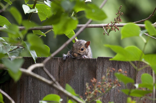 Suffering from a plague of squirrels.  One of four youngsters that are constantly messing about in the yard, getting into my bird feeder and eating my roses.  I'm guessing they are siblings.  I chase them out but they come right back.