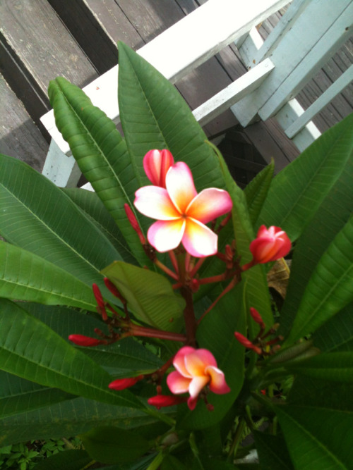 My frangipani is blooming :)