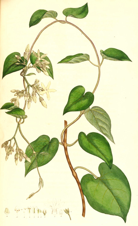 James Edward Smith and James Sowerby, Telosma cordata, (1790-93)