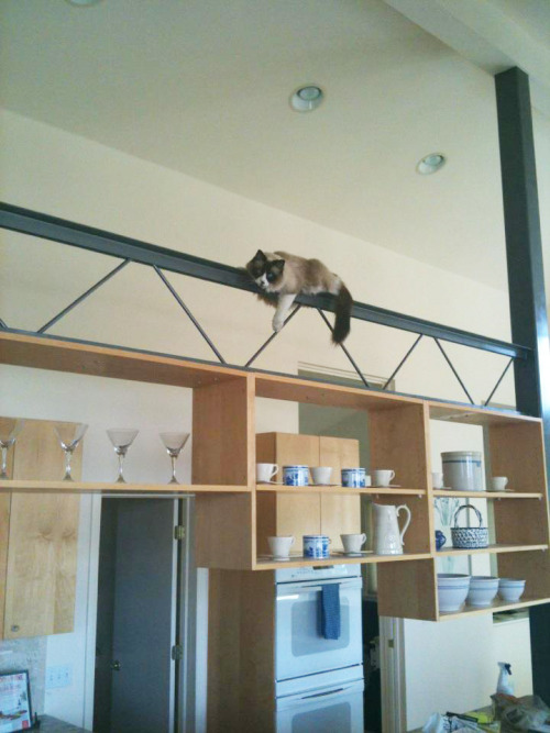 Atom, my cat, climbing to the highest place possible in my house - the suspended beam in the kitchen.