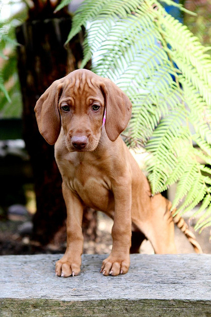 ihavelotsofdogs:  IMG_0273 by TrishAMc on Flickr.Vizsla puppy