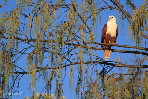 Brahminy Kite (Haliastur indus) on Flickr. One of the more medium sized raptors to be found in eastern Australia, the Brahminy Kite is also a bird of prey that can fish!