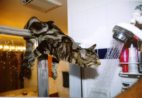 Shower Drinking - Shower Cat by Photogregs on Flickr.