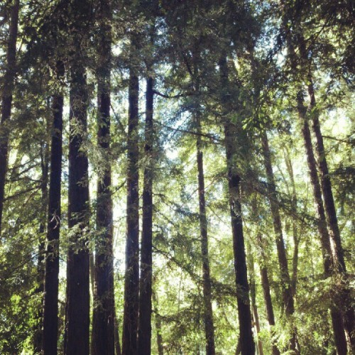 Redwoods in Fairfax (Taken with Instagram)