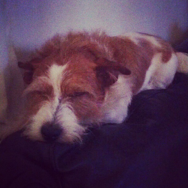 #my #dog #tyson #sleeping #on #the #couch #cute #ginger #jackrussel #jack #russel #terrier #love #him #bff  (Taken with Instagram)
