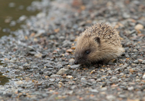 Hedgehog,Hoglet (by Gary Faulkner's wildlife)