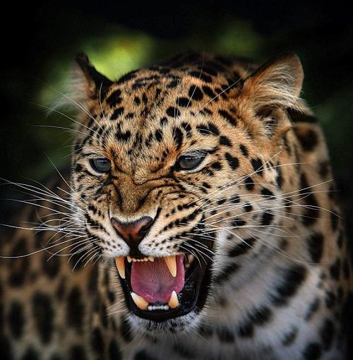 Young Amur Leopard  by Bob Jones