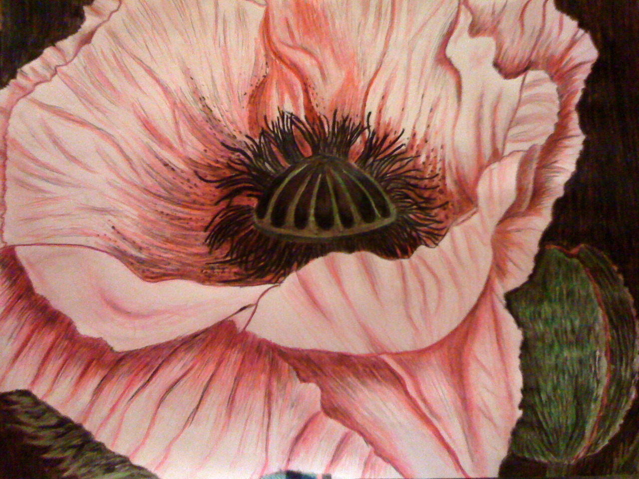I drew this poppy for my mum in coloured pencil.