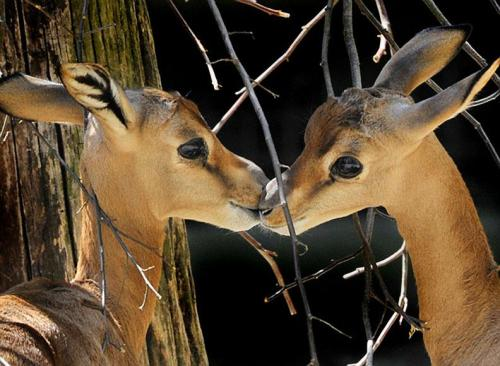 Ah, young love. Two young Dama Gazelles share a quick smooch at a zoo in Frankfurt Main, Germany,By:Happy Jack