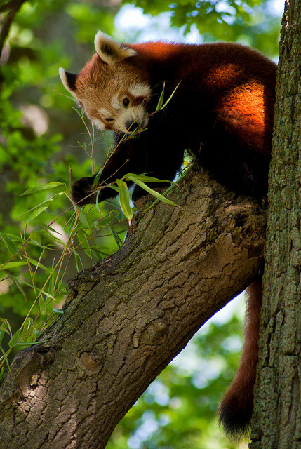 l0st-li0ns:  Red Panda by hutchyp on Flickr. Animal blog