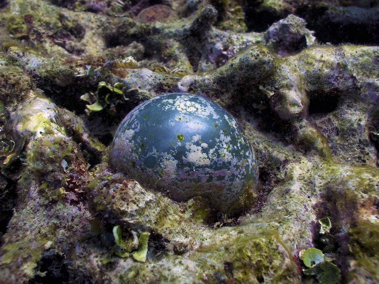This odd green seaweed, known as Sailor's Eyeball (Valonia ventricosa), looks like a dark green marble, and consists of a single large cell attached to the substrate by a cluster of filaments called rhizoids. Younger plants have a bluish sheen, but older ones become overgrown with incrusting coralline red seaweeds.