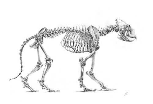 scientificillustration:  Skeleton of the lion by *AldemButcher