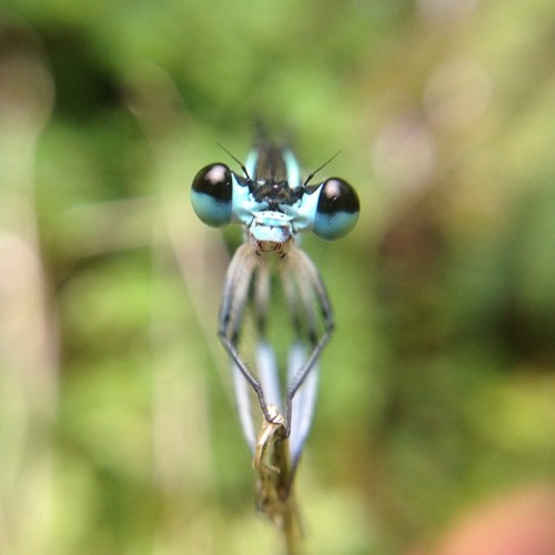 insectlove:  kelokelo: I am not alien.👽 #damselfly #bug #insect #iPhone4S #izawaopt #macro #alien (Instagramで撮影)      (via TumbleOn)