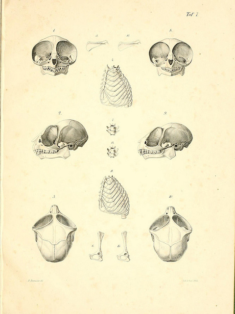 scientificillustration:  Tarsier skulls by BioDivLibrary on Flickr.  the only thing more absurd than a Tarsier is a Tarsier skull