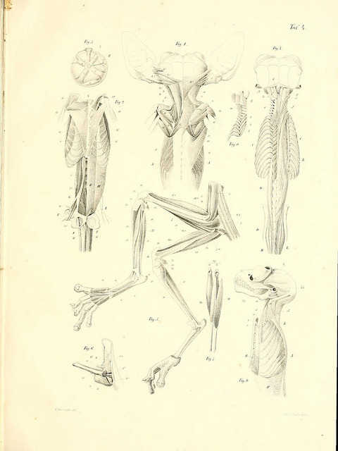 Tarsier anatomy by BioDivLibrary on Flickr.
