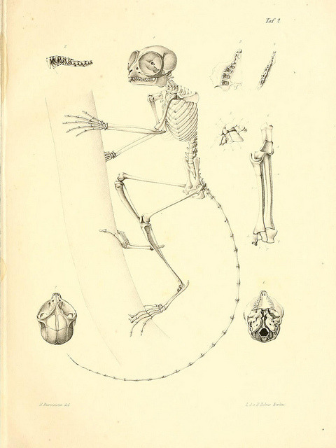 Skeleton of Tarsius spectrum now called Tarsius tarsier by BioDivLibrary on Flickr.