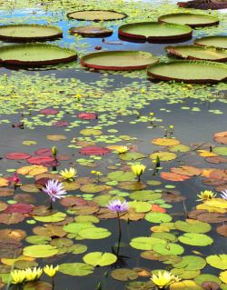foolsandluxuryy:  Lily Pads II by Cher12861 on Flickr.