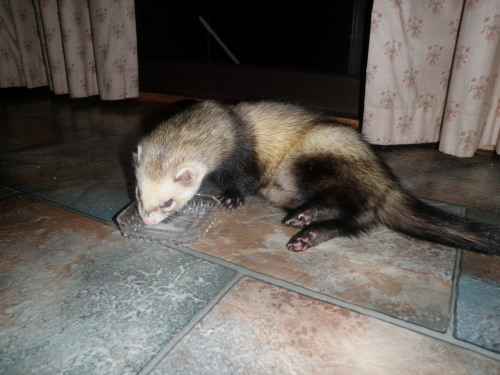 ferret-kisses:  Cooper the epitome of lazyness…cant even be bothered to stand up to drink :P