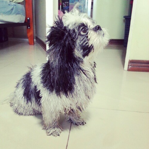 i wonder what's on her mind. haha #shihtzu #petstagram #pets #doggie #dog #puppy #toydog #littleone #cutie #cute #blackandwhite #socute #mydog #mocharoo #fury #fat #stufftoy  (Taken with Instagram)