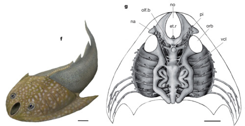 Shuyu zhejiangensis, Silurian of Zhejiang, China f, Restoration of external morphology. g, Synthetic restoration. ac.v, anterior cerebral vein; ae.a, anterior ethmoidal artery; br.f, branchial fossa; dn.a, dorsal nasal artery; ebr.a, efferent branchial artery; et.r, ethmoid rod; fr.a, frontal artery; hy.a, hypophyseal artery; hy.d, hypophyseal or buccohypophyseal duct; hy.r, hypophyseal recess; ic.a, internal carotid artery; na, nasal sacs; no, nostril; olf.b, olfactory bulb; olf.t, olfactory tract; on.a, orbitonasal artery; on.v, orbitonasal vein; oph.a, ophthalmic artery; orb, orbital opening; pe.a, posterior ethmoidal artery; pi, pineal organ; ter, terminal nerve; vcl, lateral head vein or dorsal jugular vein; I, II, III, V0, V1, V0,1, V2,3, VII, olfactory (I), optic (II), oculomotor (III), superficial ophthalmic (V0), profundus (V1), superficial ophthalmic plus profundus (V0,1), maxillomandibular (V2,3) of trigeminal (V), and facial (VII) nerves. Scale bars, 2 mm. From: Fossil jawless fish from China foreshadows early jawed vertebrate anatomy Zhikun Gai, Philip C. J. Donoghue, Min Zhu, Philippe Janvier & Marco Stampanoni Nature 476, 324–327 (18 August 2011) doi:10.1038/nature10276
