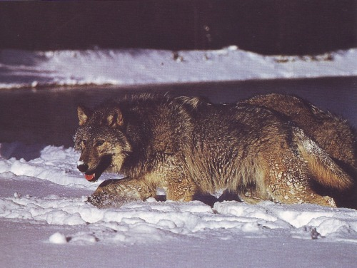 wolveswolves:  Picture by Erwin and Peggy Bauer, scanned from the book 'Wolves' by Leonard Lee Rue III