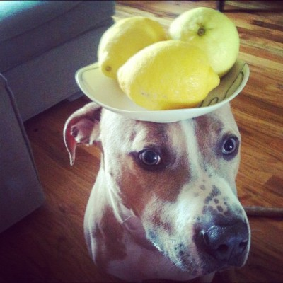 triciawang:  Stuff on #ellethedog's head - a ceramic plate with 3 lemons! Yes 3! Good sunday to everyone! Tomorrow we will try cucumbers. (Taken with Instagram)  This is how we spend our Sundays.