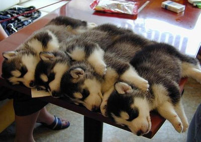 nyagao:  Four baby huskies on a table - Imgur