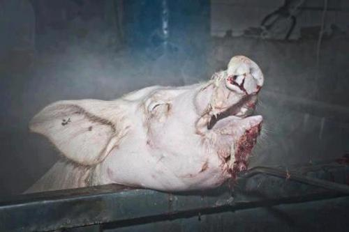empatheticvegan:  This pig woke up after being immersed in boiling water. This is a very common occurrence and happens everyday in slaughter houses, funded by people that buy the products.