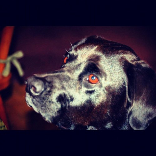 #Eyes. #dog. #black lab.  (Taken with Instagram)