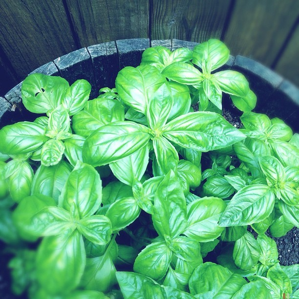 #basil The #herb #garden is loving this weather…or maybe it's the late night watering?!  #hipstamatic #purehipstamatic #iphoneography #remages  (Taken with Instagram at Remages.com)