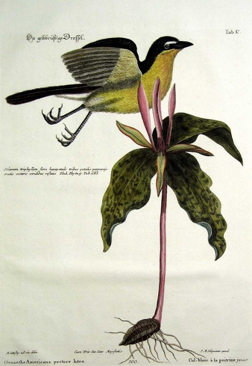 The Yellow-breasted Chat by Mark Catesby (1682-1749)