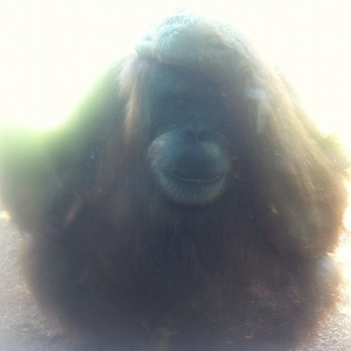 Exasperated Orangutan. #nofilter (Taken with Instagram)