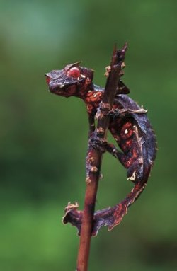 The Satanic Leaf Tailed Gecko, is a species of gecko endemic to the island of Madagascar.