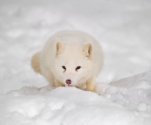 ecocides:  Arctic fox | image by Daniel Parent